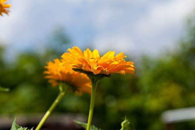 Желто-оранжевые цветы летом, декоративные цветущие растения в саду