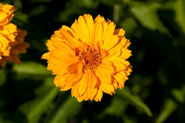 夏の黄橙色の花