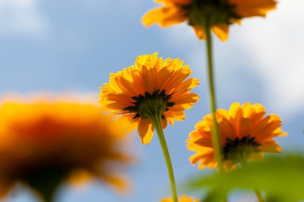 Желто-оранжевые цветы летом