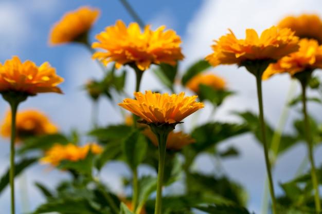 Желто-оранжевые цветы летом Premium Фотографии