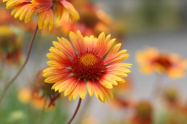 공원 gaillardia 꽃의 화단에 노란색 주황색 꽃