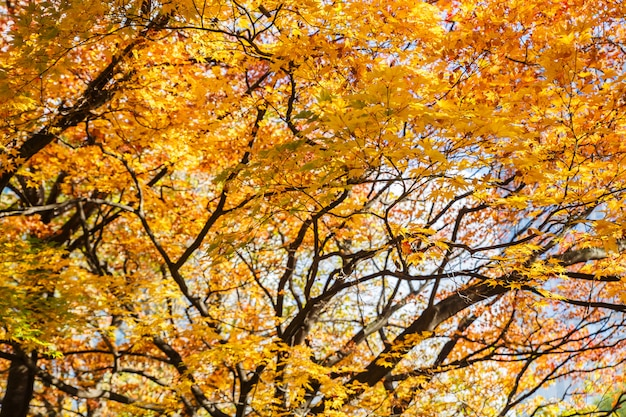 Yellow and orange maple leaves in autumn season with blue sky blurred background