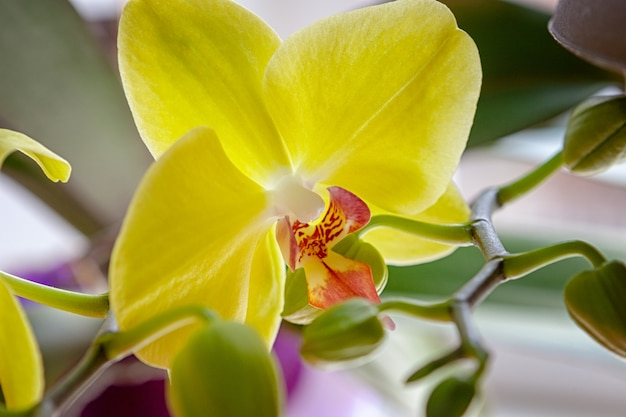 Yellow orchid bloom flower.exotic houseplant blossom.