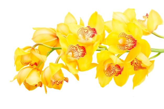 黄色い蘭の花の茎は白い背景で隔離