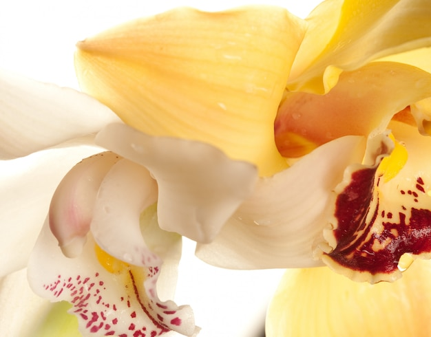 Yellow orchid closeup