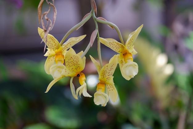 Желтый цветок орхидеи