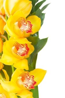 Желтые цветы орхидеи и зеленые листья границы, изолированные на белом фоне