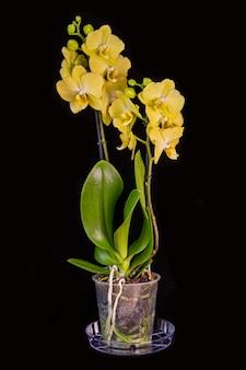 Желтая орхидея в горшке, изолированная на черном. цветоводство, хобби, домашние цветы.