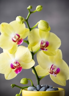 Желтая орхидея на сером фоне.