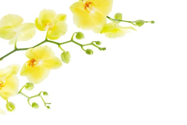 흰 배경에 고립 된 노란 난초