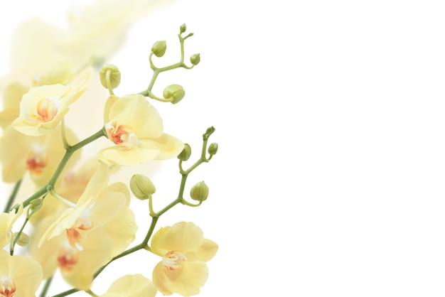 흰색 표면에 고립 된 노란 난초 프리미엄 사진