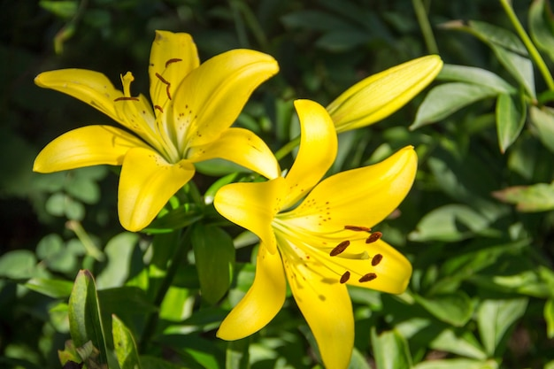 정원에 있는 노란 오리엔탈 백합