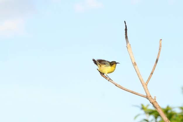 The yellow oriole bird action cute on stick tree in garden