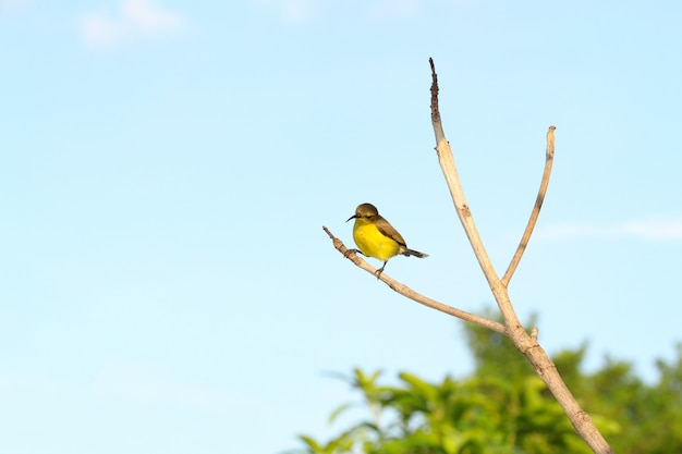 The yellow oriole bird on stick tree in garden