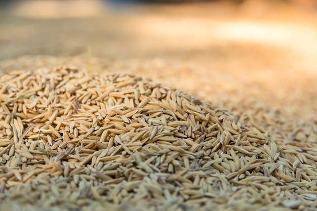Yellow paddy jasmine rice to dry closed up for background