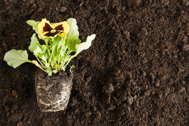 Yellow pansy flower plant over the fertile soil