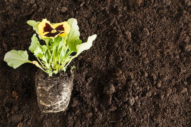 Желтые цветы анютины глазки над плодородной почвой