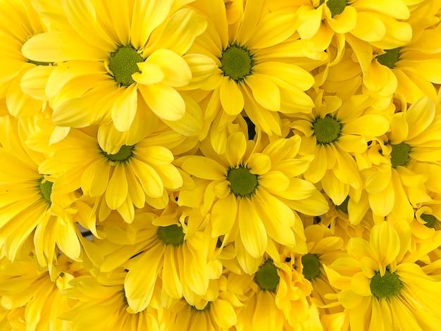 Желтый пастельный цветочный фон хризантемы с мягким фокусом