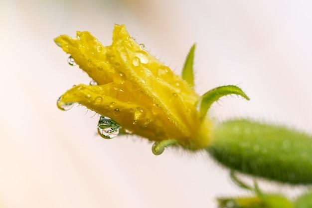 농업 농장의 온실에서 자라는 이슬 방울이 있는 꽃이 만발한 오이의 노란 꽃잎. 클로즈업 보기, 여름 자연 신선도 에코 야채의 매크로 사진.