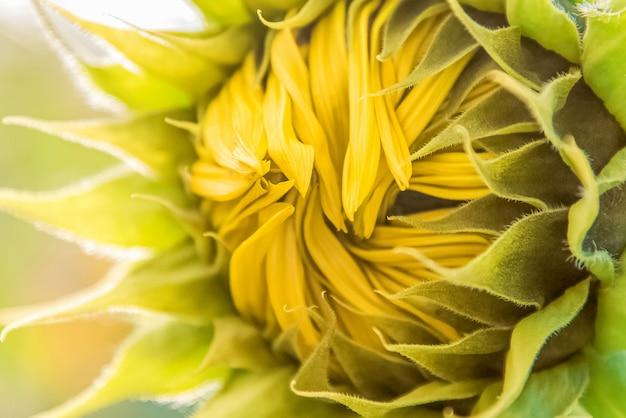 未開封のヒマワリの花序のクローズアップの黄色い花びら