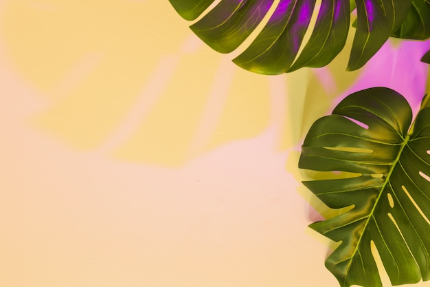 Yellow and pink shadow on monstera leaf over the beige backdrop