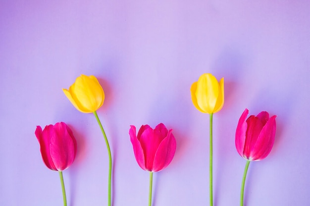 Yellow and pink tulips isolated on light purple background