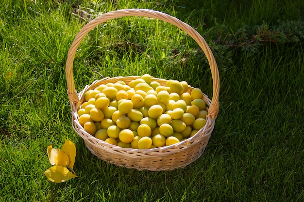 バスケットの黄色の梅。緑の芝生を背景に梅を採集。庭で明るくジューシーなプラム。枝編み細工品バスケットで新鮮な熟したプラム