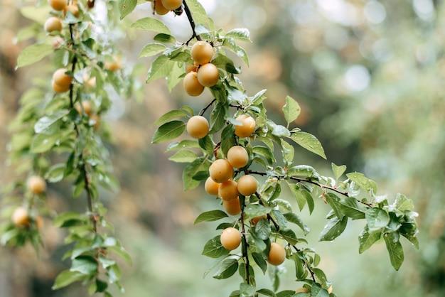 Желтая слива или мерная слива balana на ветке дерева