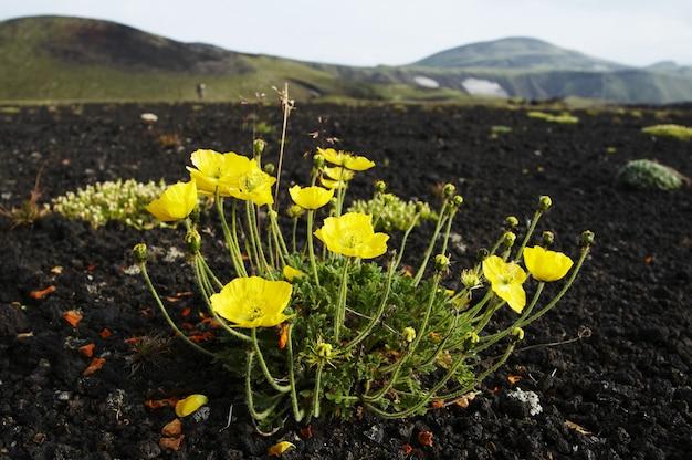 Yellow poppy in volcano desert