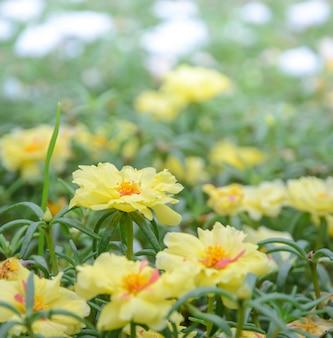 Yellow portulaca or purslane flower in the garden