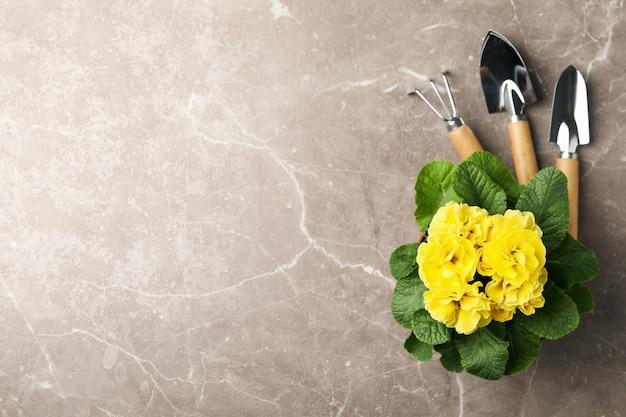 黄色のサクラソウと灰色の背景、テキスト用のスペースにガーデニングツール