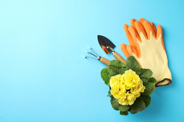 Yellow primrose and gardening tools on blue, space for text