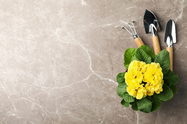 Yellow primrose and gardening tools on grey background, space for text
