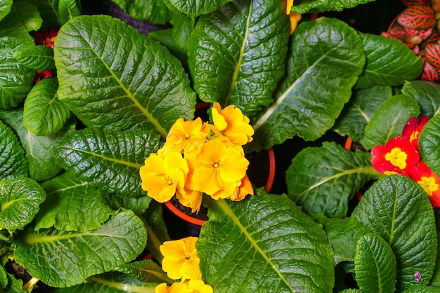 Yellow primrose in a pot closeup with green leaves top view bright spring flowers as a gift