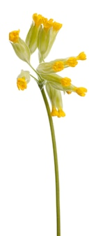 Желтая первоцвет