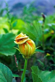 Yellow pumpkins flower bud