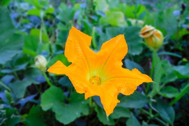Yellow pumpkins flower