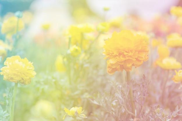 Yellow ranunculus in the garden