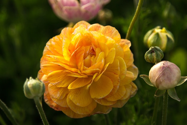Yellow ranunculus on a green background
