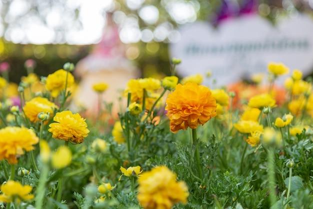 庭の黄色のラナンキュラス