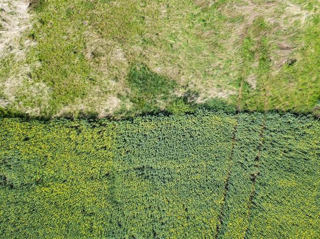黄色の菜の花畑の風景航空写真産業農業