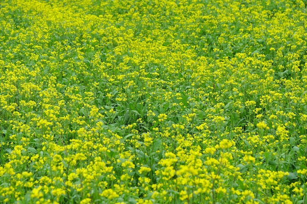 Yellow rape flower background image in qinghai province china