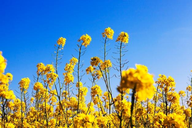Желтые цветы рапса во время цветения