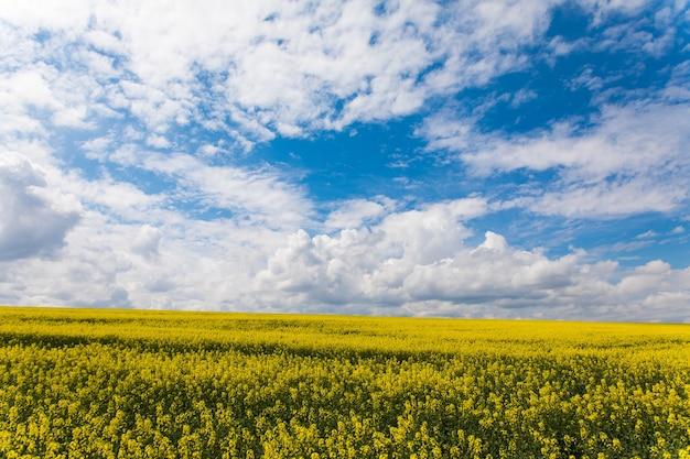 노란색 유채 꽃과 구름과 푸른 하늘. 우크라이나, 유럽. 뷰티 월드.