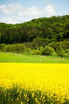 Желтые поля рапса