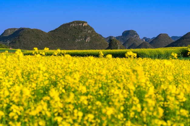 Yellow rapeseed flowers field with blue sky at luoping county, china
