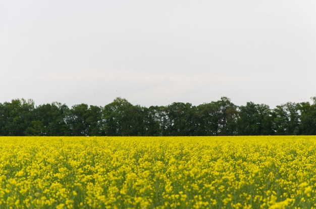 Yellow rapeseed flowers (lat. brassica get drunk) against a blue sky