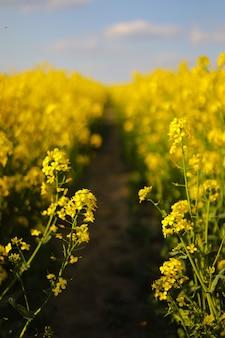 空を背景に黄色い菜種。色に選択的に焦点を当てます。熟した菜種のカノーラ畑