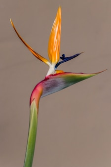 Yellow and red birds of paradise in close up