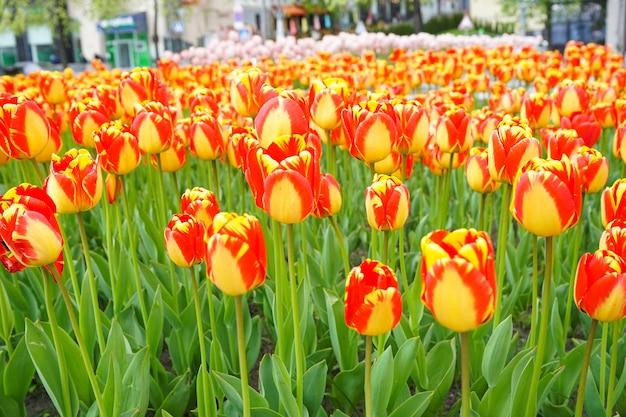 꽃 침대에서 노란색 빨간색 피 튤립 클로즈업. 꽃 표면